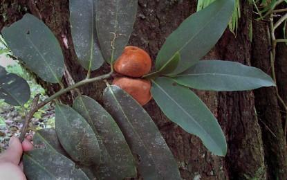 Descubren en Costa Rica árbol parar mantenerse joven y sano