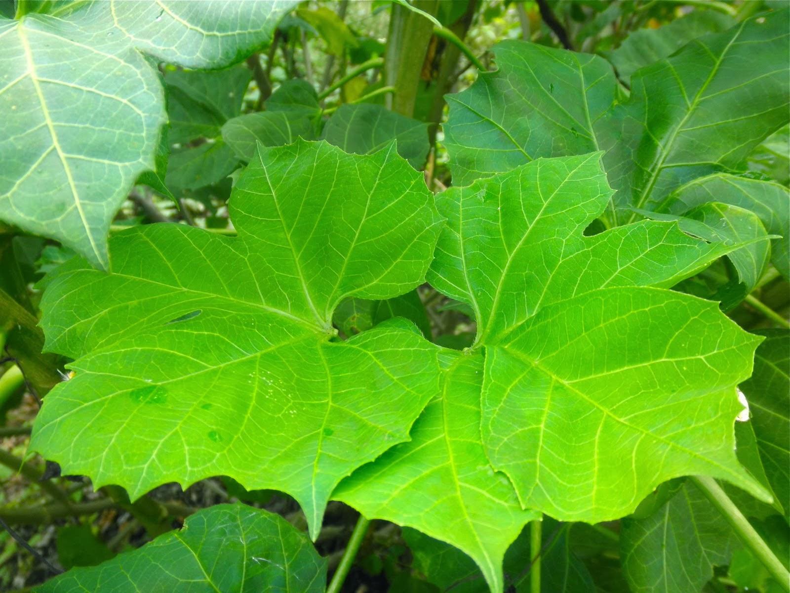 La chaya, una planta con amplios beneficios nutricionales